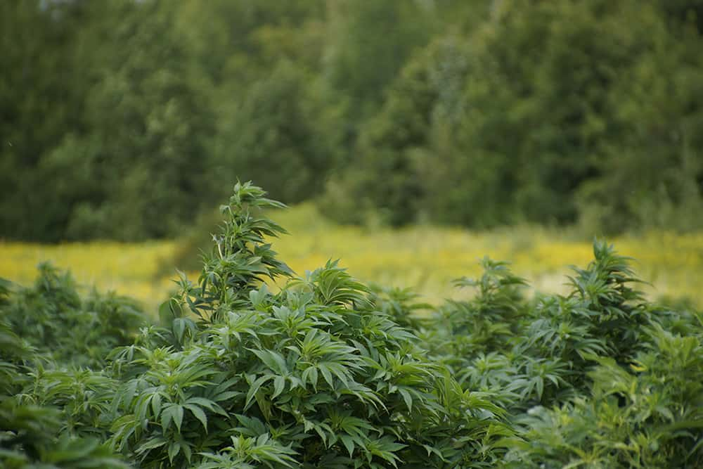 How to Estimate Extraction Yield from Your Hemp Crop